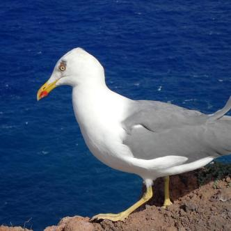 A very friendly yellow legged gull