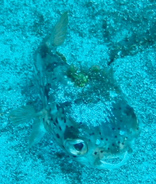Cuddly puffer fish