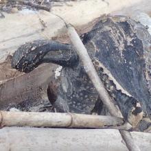 Beach croc ...